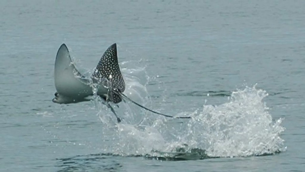Airborne Spotted Eagle Ray